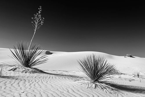 Sunset Yuccas