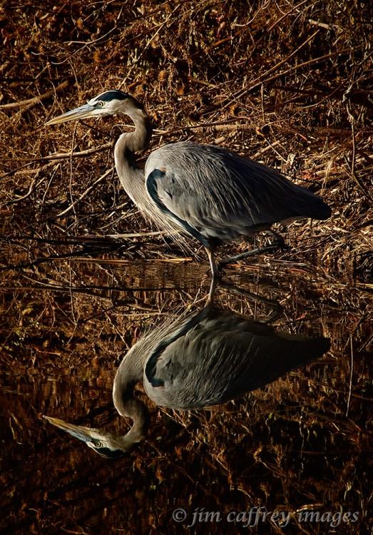Wading-Heron