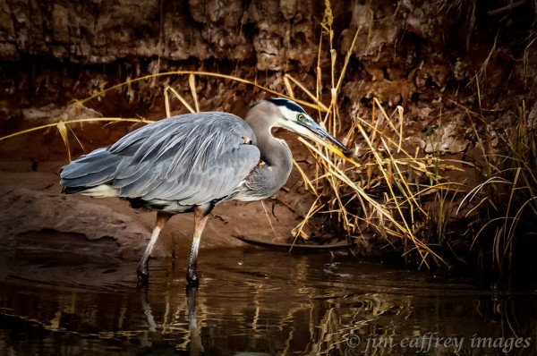 A great blue heron catches his breakfast in one of the many diversion channels on the refuge.