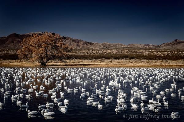 Geese-At-Chupadera-Pond