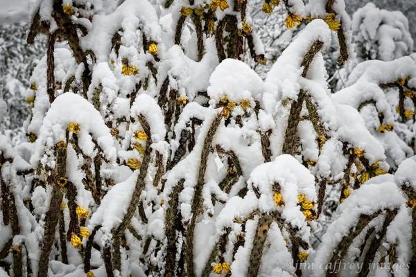 Winter-Cholla