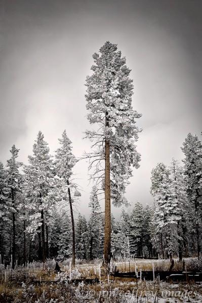 Treecsicles