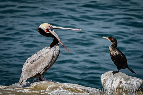 brown-pelican-and-cormorant-la-jolla