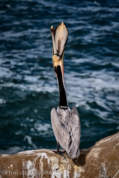 brown-pelican-head-toss