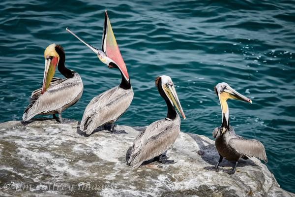 pelicans-2