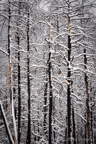 Snow covers the branches of trees burned in a wildfire